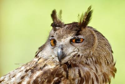 Owl Close-Up Portrait