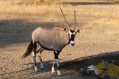 https://imgc.allpostersimages.com/img/posters/gemsbok-oryx-gazella-central-kalahari-national-park-botswana-africa_u-L-PQ8PNB0.jpg?artPerspective=n