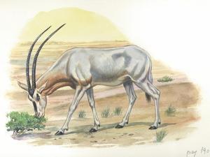 Gemsbok Oryx Gazella