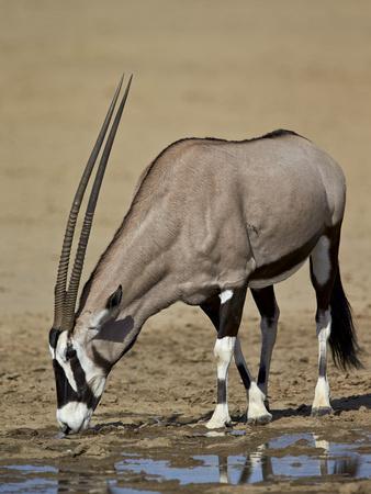 https://imgc.allpostersimages.com/img/posters/gemsbok-south-african-oryx-oryx-gazella-drinking_u-L-PWFCQW0.jpg?p=0