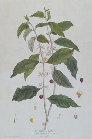 Coffea Arabica (Coffee) Botanical Plate from 'La Botanique Mise a La Portee De Tout Le Monde' by Ni
