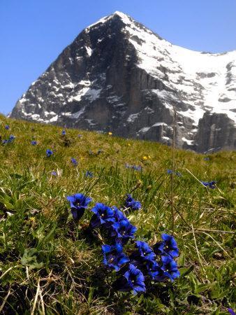 https://imgc.allpostersimages.com/img/posters/gentians-alpine-flowers-in-front-of-the-eiger-kleine-scheidegg-bernese-oberland-switzerland_u-L-P7X22C0.jpg?p=0