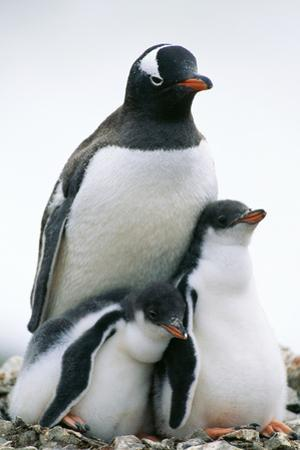 Gentoo Penguin Adult with Two Chicks