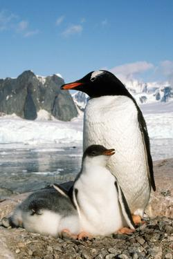 Gentoo Penguin Adult with Young