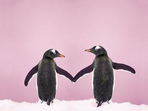 Gentoo Penguin Pair 'Holding Hands' in the Snow