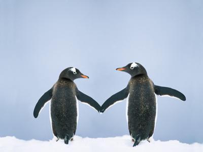 Gentoo Penguin Pair 'Holding Hands'