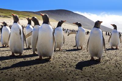 https://imgc.allpostersimages.com/img/posters/gentoo-penguin-pygoscelis-papua-group-displays-inquisitive-behaviour_u-L-PQ8PYZ0.jpg?p=0