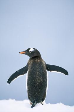 Gentoo Penguin Wings Spread