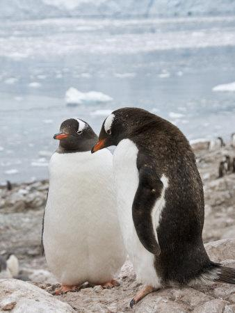 https://imgc.allpostersimages.com/img/posters/gentoo-penguins-neko-harbour-antarctic-peninsula-antarctica-polar-regions_u-L-P91SZZ0.jpg?p=0