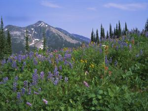 Flower Meadow, Mount Revelstoke National Park, Rocky Mountains, British Columbia (B.C.), Canada by Geoff Renner