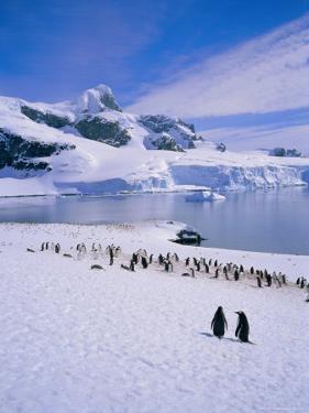 Gentoo Penguins, Antarctic Peninsula, Antarctica by Geoff Renner