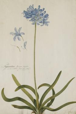 Agapanthus by Georg Dionysius Ehret