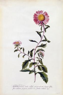 Aster, C.1743 by Georg Dionysius Ehret