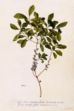 Bayberry or Myrtle, C.1746 by Georg Dionysius Ehret