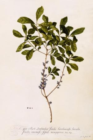 Bayberry or Myrtle, C.1746