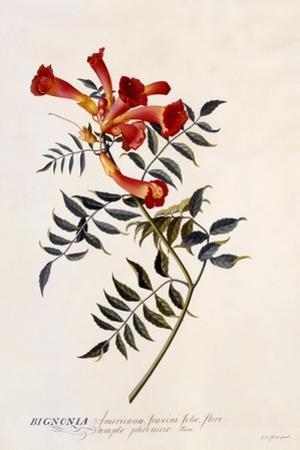 Bignonia Americana, C.1743
