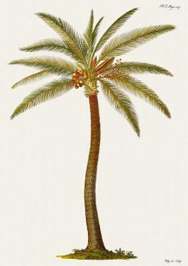 Coconut Palm Tree, 18th Century by Georg Dionysius Ehret