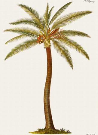 Coconut Palm Tree, 18th Century