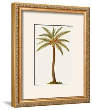 Coconut Palm Tree by Georg Dionysius Ehret