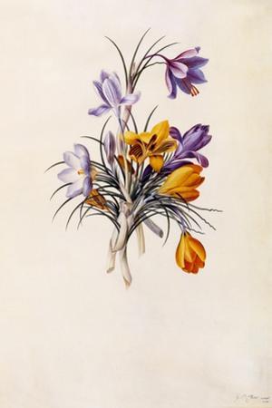 Crocuses, C.1744