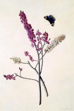 Daphne Mezereum with Butterfly, C.1740 by Georg Dionysius Ehret