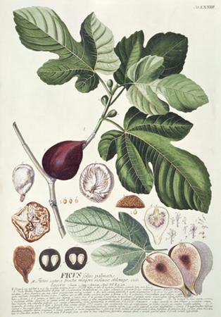 Ficus (Fig) (Coloured Engraving) by Georg Dionysius Ehret