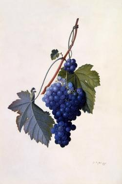 Grapes, C.1747 by Georg Dionysius Ehret