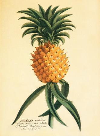 Ho'okipa, Hawaiian Pineapple c.1742 by Georg Dionysius Ehret