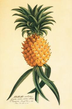 Ho'okipa, Hawaiian Pineapple c.1742 by Georg Dionysius Ehret