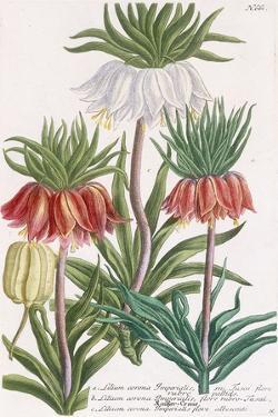 Lilium Corona Imperialis by Georg Dionysius Ehret