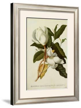 Magnolia Altissima by Georg Dionysius Ehret