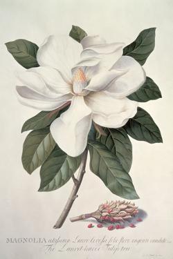 Magnolia by Georg Dionysius Ehret