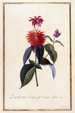 Oswego Tea Plant, C.1740 by Georg Dionysius Ehret