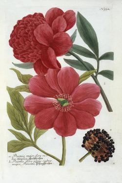 Paeonia from Johann Wilhelm Weinmann's Phytanthoza Iconographia, 1737 by Georg Dionysius Ehret