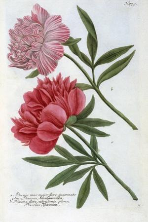 Paeonia from Johann Wilhelm Weinmann's Phytanthoza Iconographia, 1737