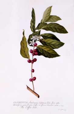 The Coffee Tree, C.1743 by Georg Dionysius Ehret