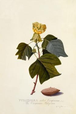 The Virginian Tulip Tree, C.1743 by Georg Dionysius Ehret