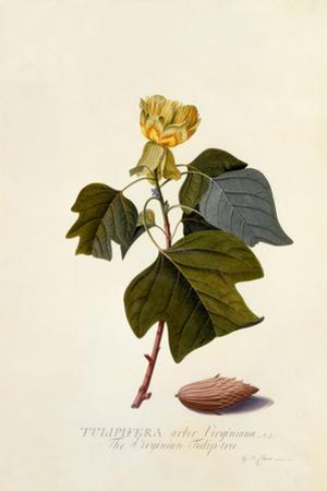 The Virginian Tulip Tree, C.1743