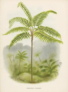Tree Fern, 18th Century by Georg Dionysius Ehret
