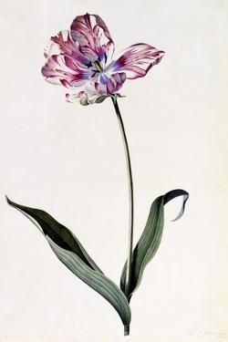 Tulip, C.1745 by Georg Dionysius Ehret