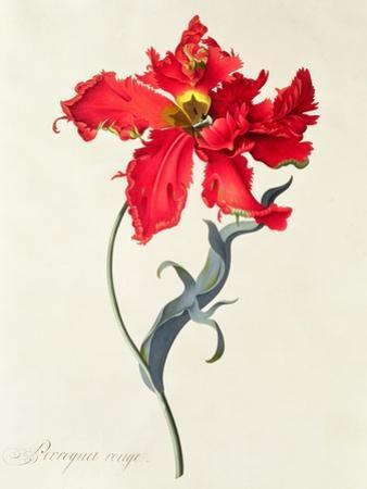 Tulip: Perroquet Rouge