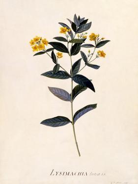 Yellow Loosestrife, C.1760 by Georg Dionysius Ehret