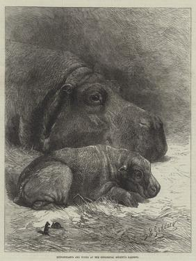 Hippopotamus and Young at the Zoological Society's Gardens by George Bouverie Goddard