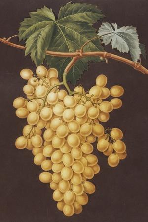 Alexandria Grapes, 1812