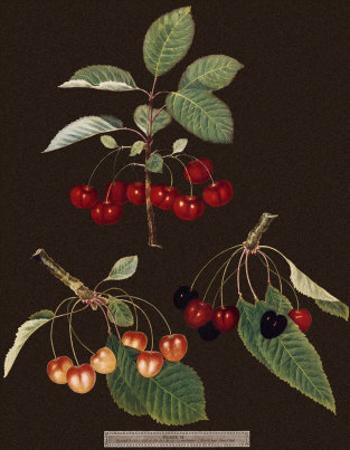 Brookshaw Cherries by George Brookshaw