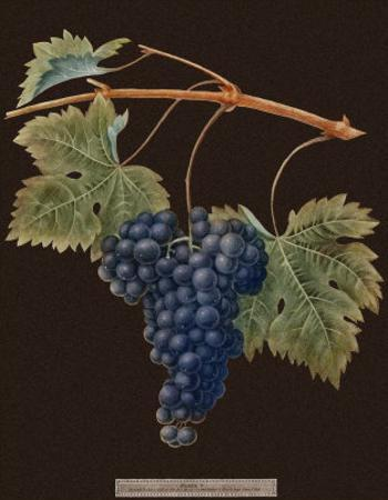 Brookshaw Purple Grapes by George Brookshaw
