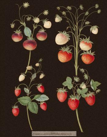 Brookshaw Strawberries by George Brookshaw