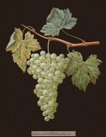 Brookshaw White Grapes by George Brookshaw