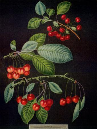 Cherries I by George Brookshaw