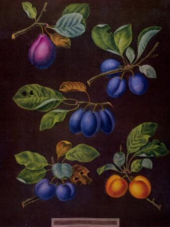 Plums I by George Brookshaw